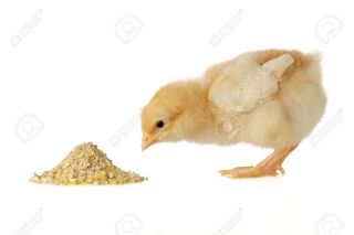 2038897-chicken-having-a-meal-Stock-Photo-feed-chick-chicken.jpg