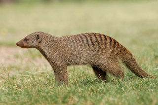 mongoose-006.jpg